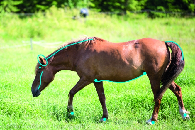 Kuvassa merkittynä alueet jotka tyypillisesti oireilevat eniten ihottumahevosilla.